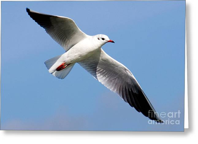 Flying Seagull Greeting Cards - Black-headed Gull Greeting Card by Tim Holt