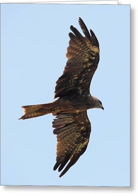 Black Kite Greeting Cards - Black kite in flight from below Greeting Card by Paul Cowan