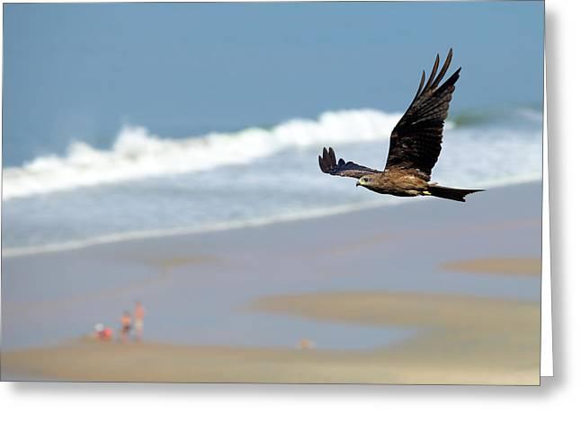 Black Kite Greeting Cards - Black kite over Varkala beach Greeting Card by Paul Cowan
