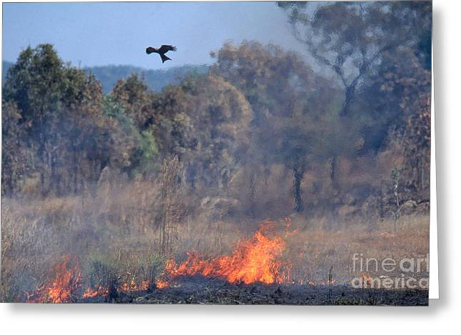 Black Kites Greeting Cards - Black Kites Over Brush Fire Greeting Card by Gregory G. Dimijian, M.D.
