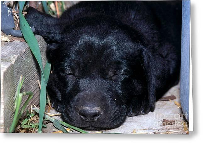 Sleeping Baby Animal Greeting Cards - Black Lab Puppy Sleeping Greeting Card by William H. Mullins