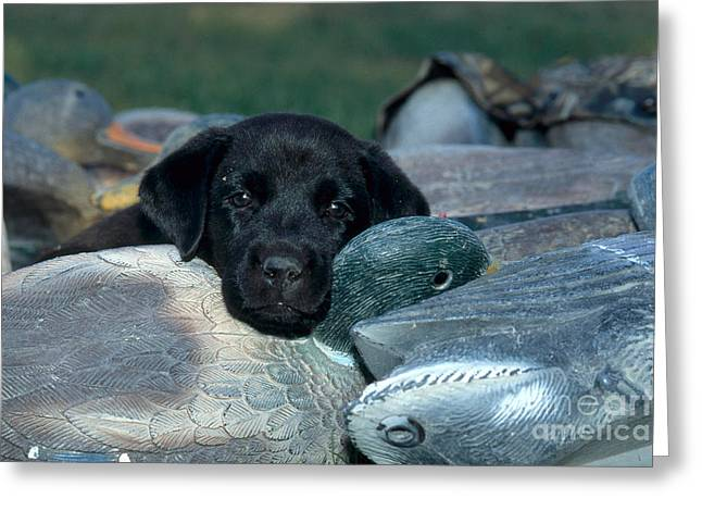 Bred Greeting Cards - Black Lab Puppy With Duck Decoys Greeting Card by William H. Mullins