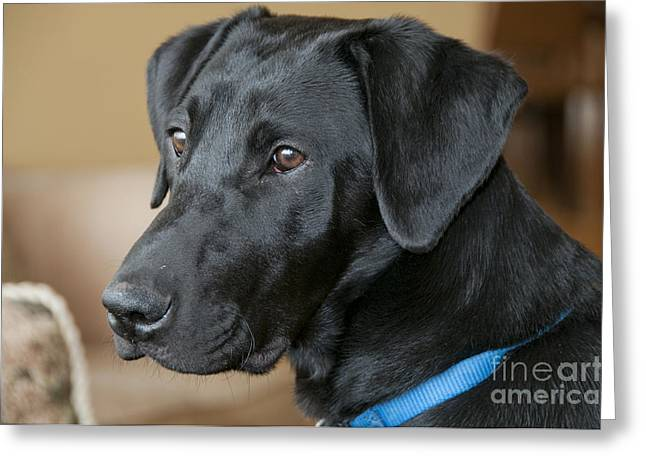 Black Lab Puppy Greeting Cards - Black Lab Greeting Card by William H. Mullins