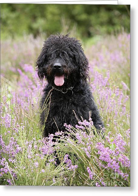 Cross Breed Greeting Cards - Black Labradoodle Greeting Card by John Daniels
