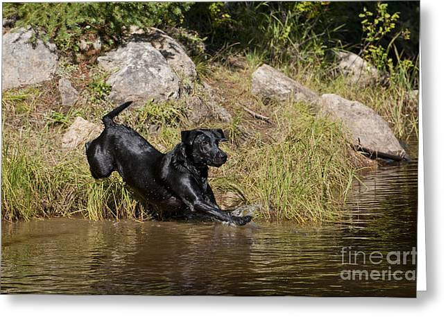 Swimming Dog Greeting Cards - Black Labrador Jumping Into Pond Greeting Card by William H. Mullins