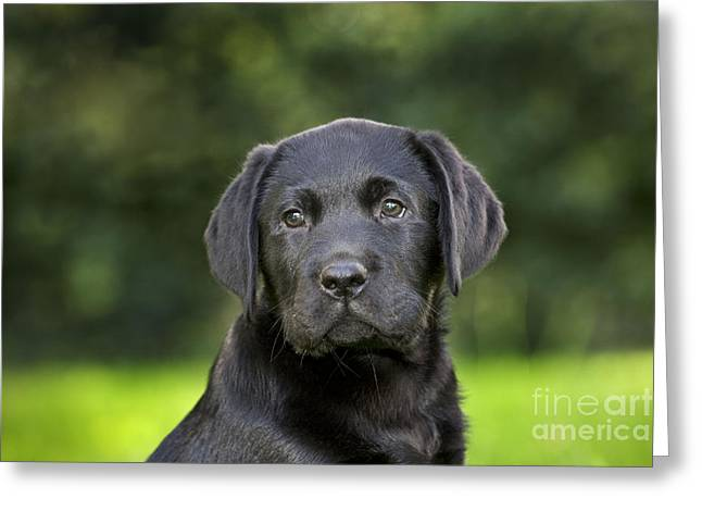 Breeds Greeting Cards - Black Labrador Puppy Greeting Card by Johan De Meester