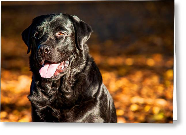 Sit-ins Greeting Cards - Black Labrador Retriever in Autumn Forest 2 Greeting Card by Jenny Rainbow