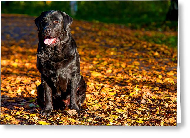 Sit-ins Greeting Cards - Black Labrador Retriever in Autumn Forest Greeting Card by Jenny Rainbow
