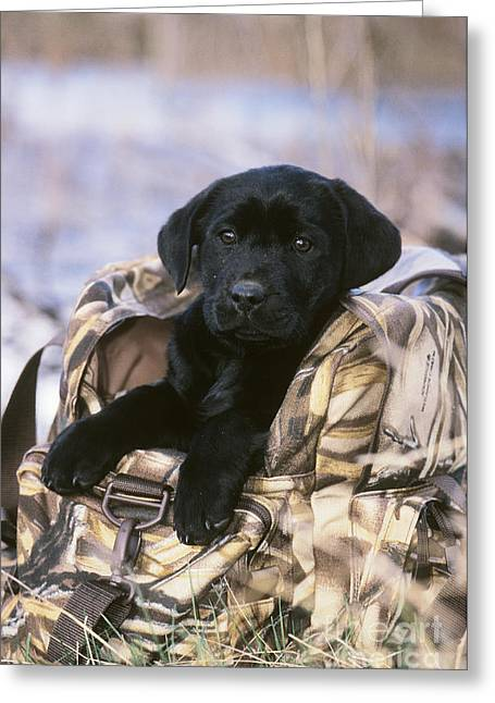 Breeds Greeting Cards - Black Labrador Retriever Puppy Greeting Card by William H. Mullins