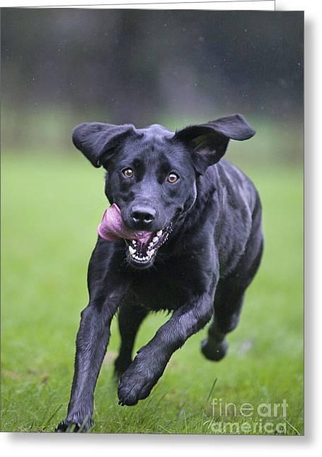 Happy Labradors Greeting Cards - Black Labrador Running Greeting Card by Johan De Meester