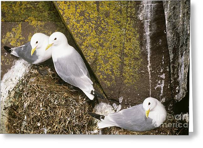 St. George Island Greeting Cards - Black-legged Kittiwakes At Nest Site Greeting Card by Art Wolfe