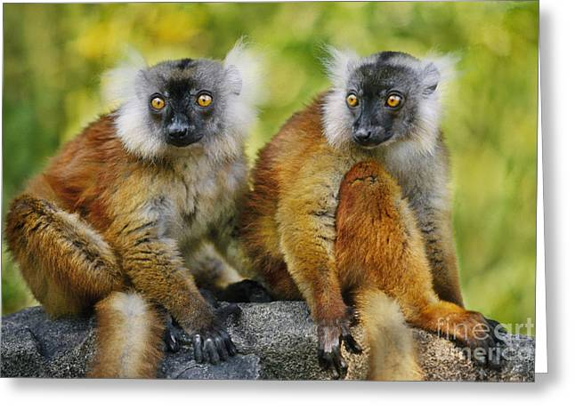 Physical Body Photographs Greeting Cards - Black Lemur Female Greeting Card by Frans Lanting MINT Images