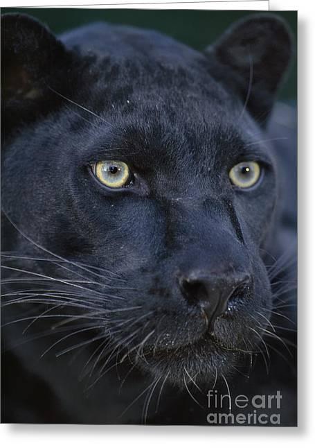 Black Leopard Greeting Cards - Black leopard Greeting Card by Frans Lanting MINT Images