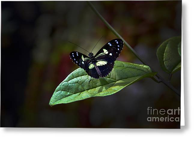 Flyer Greeting Cards - Black Mindo Flutterby Greeting Card by Al Bourassa