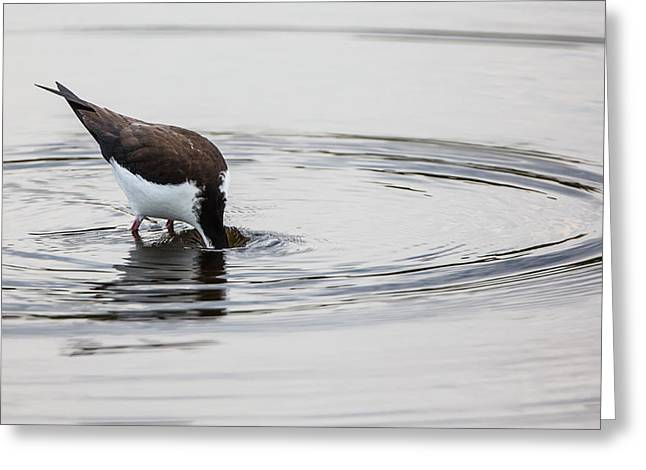 Black-necked Stilt Breaking The Water Line Greeting Card by Andres Leon