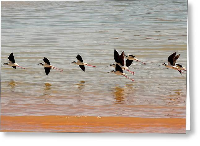 Wildlife Art Acrylic Prints Greeting Cards - Black-necked Stilt - Lake Powell Greeting Card by Julie Niemela