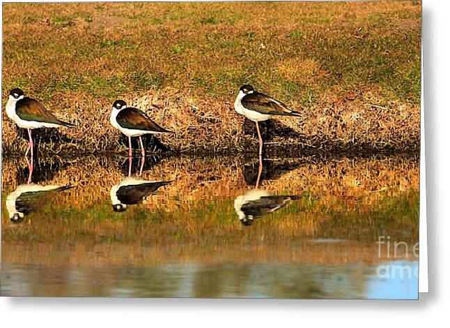 Black-necked Stilts Greeting Card by Robert Bales