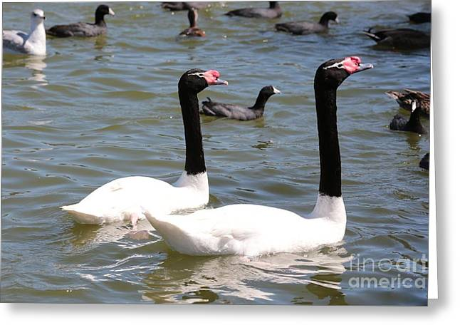 Black-necked Swans Greeting Card by Carol Groenen