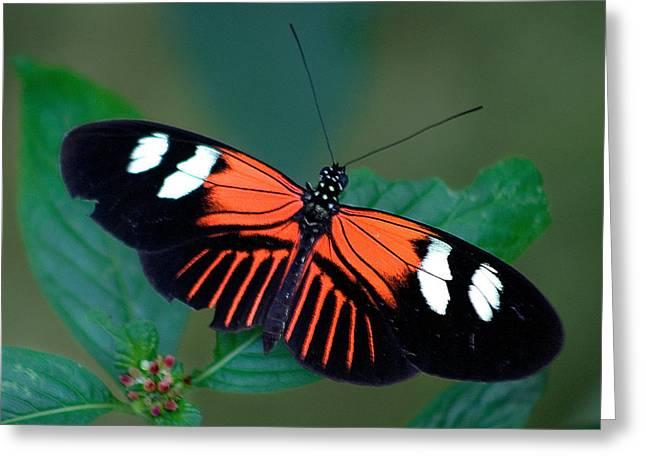 Vlinder Greeting Cards - Black Orange and White Greeting Card by Karen Stephenson