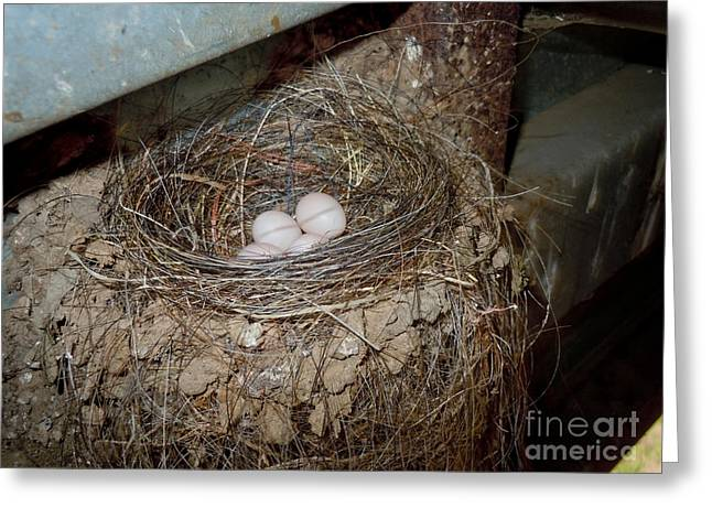 Phoebe Greeting Cards - Black Phoebe Nest With Eggs Greeting Card by Anthony Mercieca