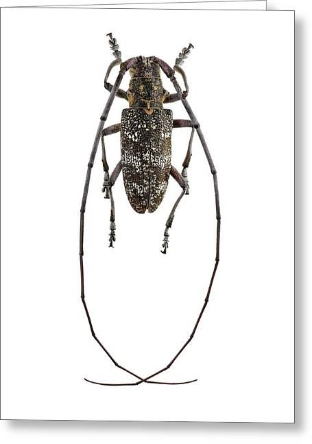 Black Pine Sawyer Beetle Greeting Card by F. Martinez Clavel
