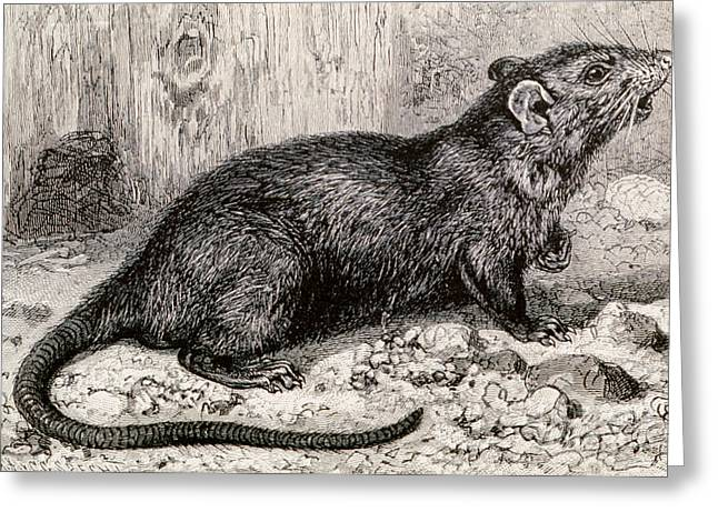 Science Collection - Greeting Cards - Black Rat 19th Century Engraving Greeting Card by Spl