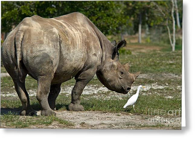 Critically Endangered Animal Greeting Cards - Black Rhinoceros And Cattle Egret Greeting Card by Mark Newman