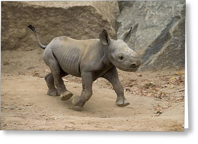Black Rhinoceros Calf Running Greeting Card by San Diego Zoo