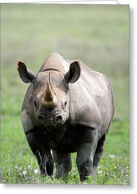 One Horned Rhino Greeting Cards - Black Rhinoceros Diceros Bicornis Greeting Card by Panoramic Images