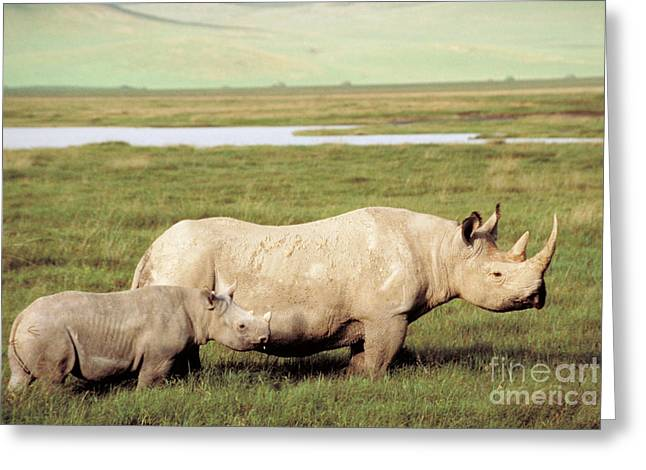 Protected Species Greeting Cards - Black Rhinoceros Greeting Card by Gregory G. Dimijian