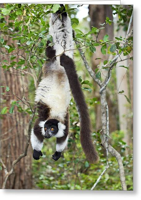 Variegata Greeting Cards - Black ruffed lemur Greeting Card by Science Photo Library
