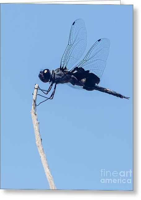 Saddlebag Greeting Cards - Black saddlebags dragonfly Greeting Card by Carl Jackson