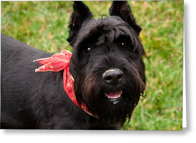 Richardson Greeting Cards - Black Schnauzer with Red Bow Smiling Greeting Card by Iris Richardson