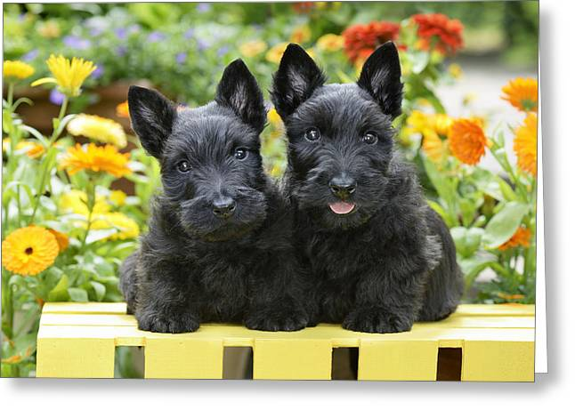 Puppies Greeting Cards - Black Scotties Greeting Card by Greg Cuddiford