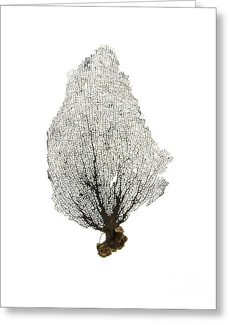 Sea Fan Greeting Cards - Black Sea Fan No.1 Greeting Card by Jennifer Booher