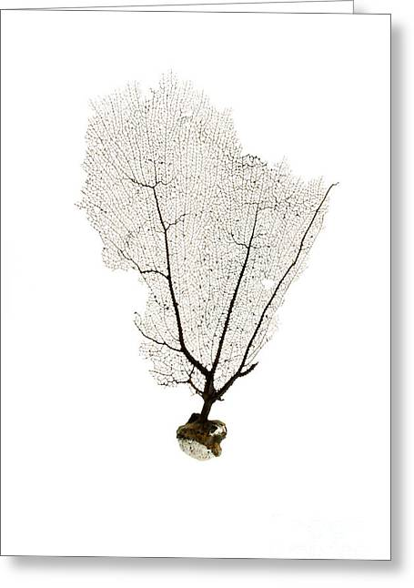 Sea Fan Greeting Cards - Black Sea Fan No.2 Greeting Card by Jennifer Booher