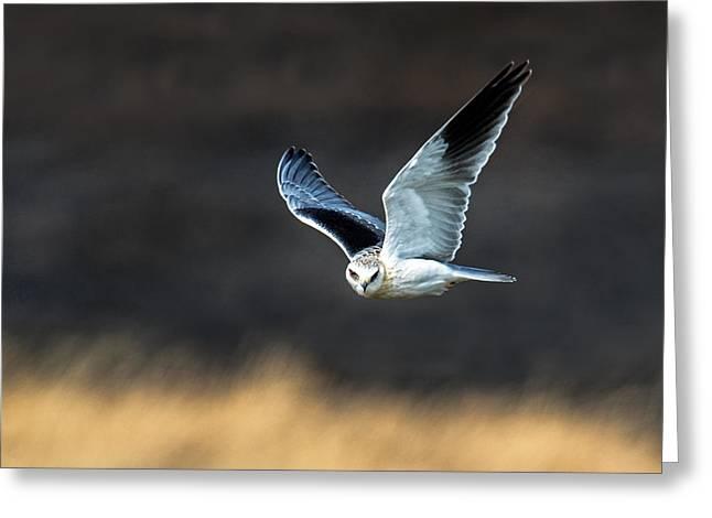 Black-shouldered Kite Elanus Axillaris Greeting Card by Panoramic Images