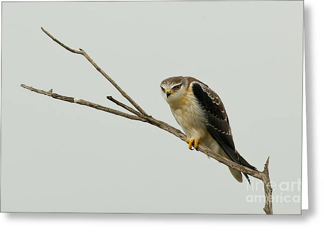 Kite Greeting Cards - Black-shouldered Kite Greeting Card by John Shaw