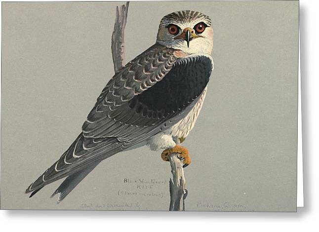 Birds Of A Feather Greeting Cards - Black Shouldered Kite Greeting Card by Louis Agassiz Fuertes