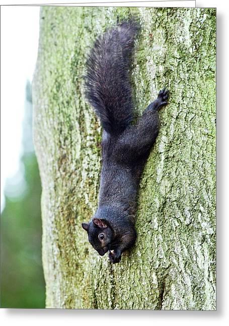 Black Squirrel Eating A Nut Greeting Card by John Devries