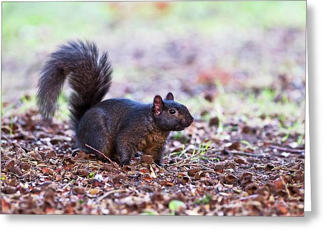 Black Squirrel On The Ground Greeting Card by John Devries