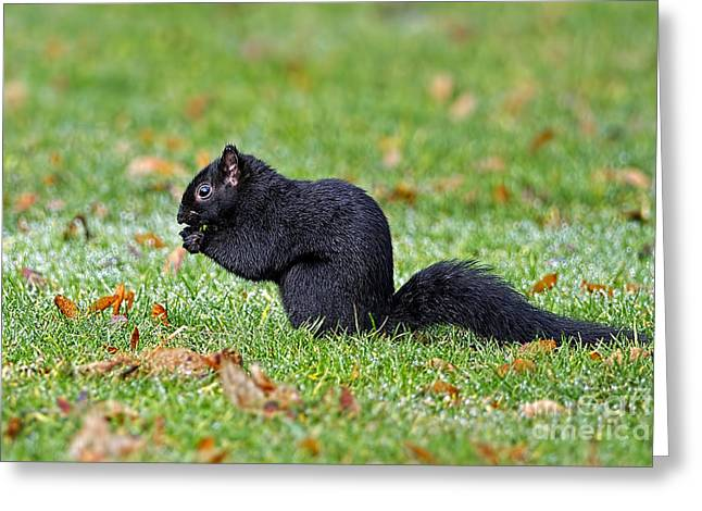 Eastern Grey Squirrel Greeting Cards - Black Squirrel Greeting Card by Sharon  Talson