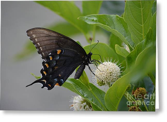 Ruth Housley Greeting Cards - Black Swallowtail Butterfly Greeting Card by Ruth  Housley