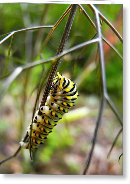 Invertebrates Greeting Cards - Black Swallowtail Caterpillar Greeting Card by Christina Rollo