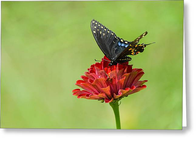 Photographs With Red. Greeting Cards - Black Swallowtail Floral Greeting Card by Debbie Green
