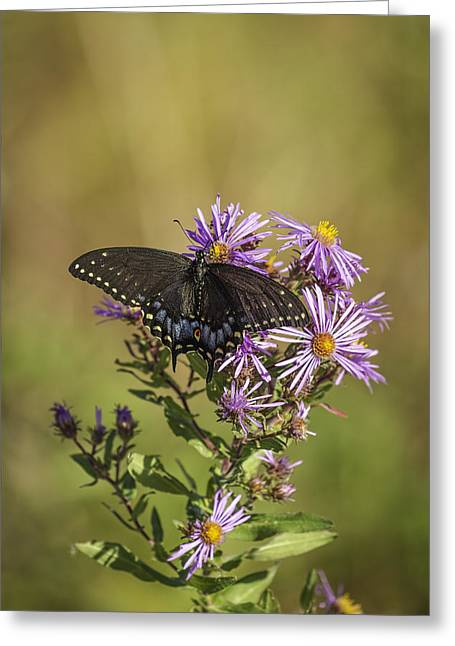 Asters Greeting Cards - Black Swallowtail on Aster Flower 1 Greeting Card by Thomas Young