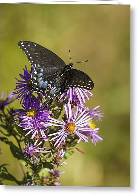 Aster Greeting Cards - Black Swallowtail on Aster Flower 2 Greeting Card by Thomas Young