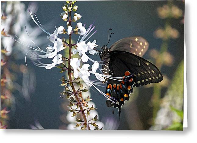 Close-up Of Cat Greeting Cards - Black Swallowtail on Cats Whiskers Greeting Card by Suzanne Gaff
