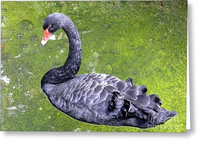 Eve Wheeler Greeting Cards - Black Swan Greeting Card by Eve Wheeler