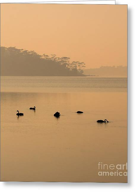 Black Swans Greeting Cards - Black Swan Sunrise Greeting Card by Mike  Dawson